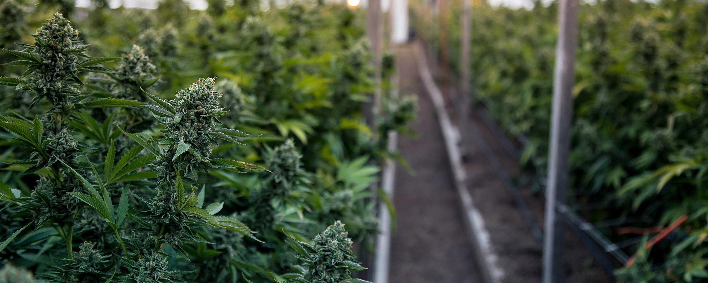 Cannabis production facility