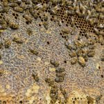 A closeup of a honeycomb and bees.