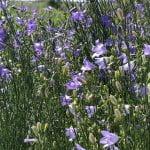 Purple bell-like flowers in the pollinator garden.